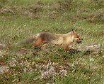 Red Fox with ptarmigan