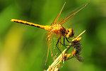 Dragonfly on bulrush 2