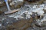 Uncovering Plesiosaur Vertebrae