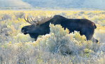 Bull moose during rut on Seedskadee NWR 1