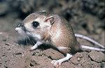 Tipton Kangaroo Rat