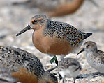 Tagged Red Knot