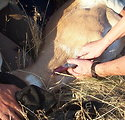 Collecting Blood from Pronghorn Antelope