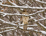 Hawk in Winter