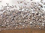 Bosque del Apache NWR snow geese