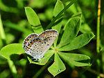 Karner blue butterfly (Lycaeides melissa samuelis)