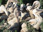 American White Pelican Creche