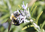 Bumblebee in Bartholdi Park