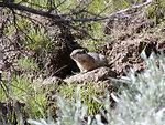 Southern Idaho Ground Squirrel