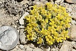 Dudley Bluffs Bladderpod Close-Up