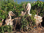 Young American White Pelicans