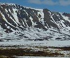 Caribou in Kilbuck Mountains