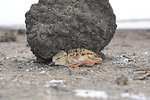 A hiding American avocet (Recurvirostra americana) chick