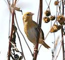 LeConte's Sparrow, Neal Smith Refuge