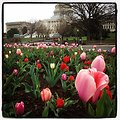 Welcome to first official day of spring, tulips at Capitol got early jump.