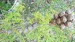 Santa Cruz Cypress Cones