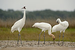 whooping crane family on wintering grounds