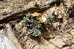Last Chance Townsendia (Townsendia aprica)