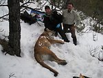 Immobilized Mountain Lion