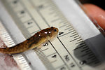 Tidewater Goby 3