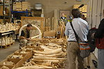 Seized ivory slated for destruction in the crush.