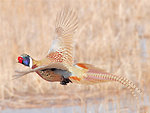 Ring-necked Pheasant on Lacreek National Wildlife Refuge 1