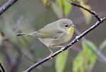 Photo of the Week - Common Yellowthroat (MA)