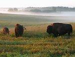 bison on Neal Smith Refuge