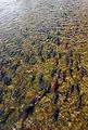 Salmon Migration