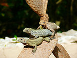 Iguanas on the tree