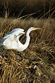 Great egret at Sacramento National Wildlife Refuge