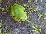 Pacific treefrog with missing eye.