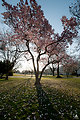 Magnolias in Bloom on the Capitol Grounds