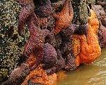 Sea stars, Oregon Islands NWR