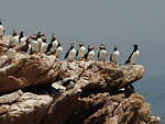 Atlantic puffin lineup led by a Razorbill