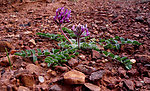 Holmgren milkvetch (Astragalus holmgreniorum)