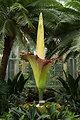 The titan arum in bloom at the Botanic Garden