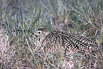 Long-billed Curlew on Nest