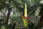Titan arum in bloom at the U.S. Botanic Garden