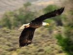 Bald Eagle Soaring on Seedskadee NWR