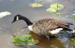 Canada geese by a small pond