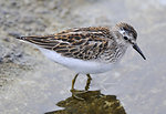 Photo of the Week - Least Sandpiper