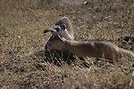 Black-footed Ferret Mother & Kit