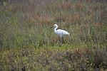 Snowy egret, April 2011