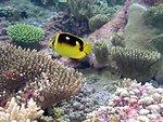 Butterfly fish at Palmyra Island NWR
