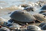 Hoseshoe Crab