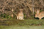 Riparian brush rabbits