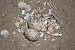 Western snowy plover (Charadrius alexandrinus nivosus) nest in a bed of shells