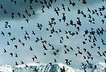 Shorebird flock, Kachemak Bay Shorebird Festival, Homer
