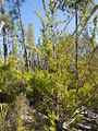 Santa Cruz Cypress and Habitat